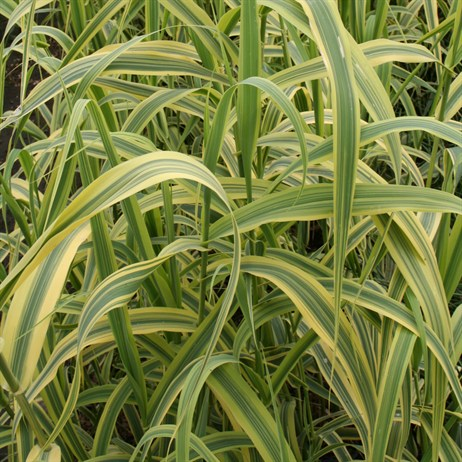 Arundo Donax Variegata 'Giant Variegated Reed' - 11cm Pot