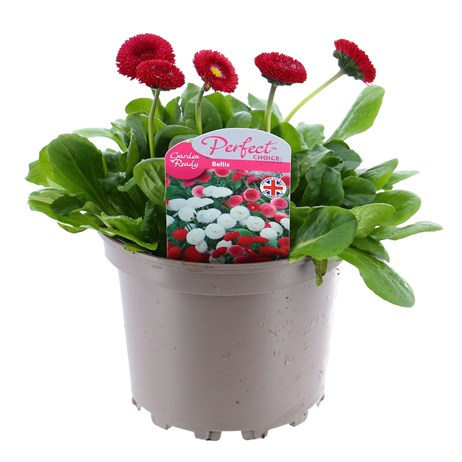 Bellis Pomponette Red 2L Pot Bedding