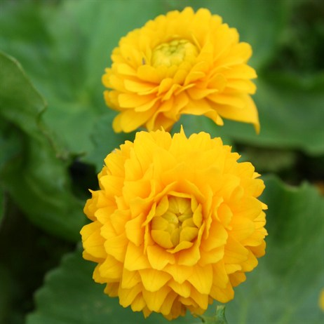 Caltha Palustris 'Flore Pleno' 'Double Marsh Marigold' - 11cm Pot