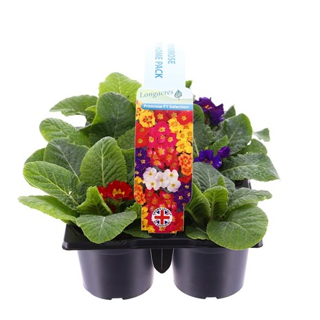 Carry Home Pack - Primrose Mixed - 6 x 10.5cm Pot Bedding