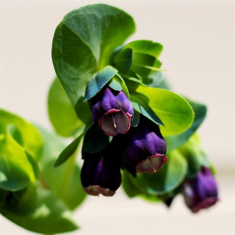 Cerinthe major Purpurascens Perennial Plant in a 9cm Pot