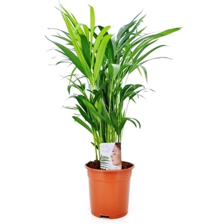 Chrysalidocarpus Lutescens Houseplant 24cm Pot