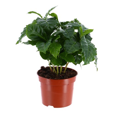 Coffea arabica (Arabica Coffee Plant) Houseplant 12cm Pot