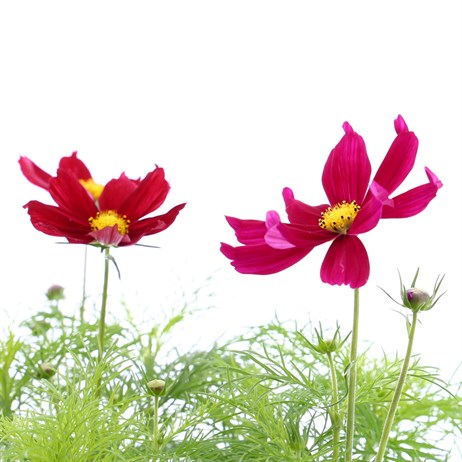 Cosmos Sonata Mixed 6 Pack Boxed Bedding
