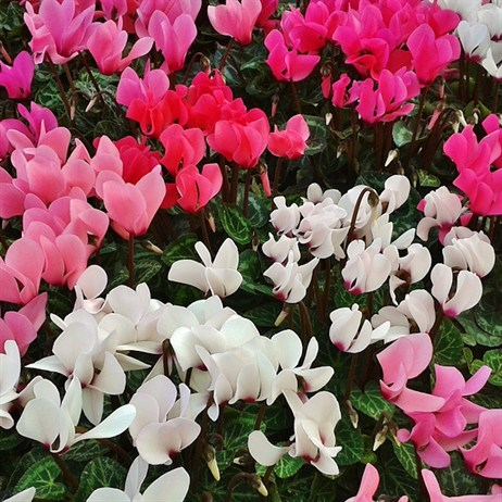 Cyclamen Perennial 9cm Mixed Colour Set - 6 x 9cm Pots