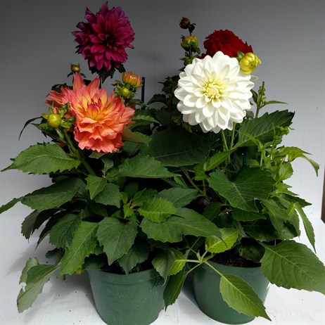Dahlia Gallery Mixed Collection 2lt Pot Bedding - White, Red, Dark Pink & Pink/Yellow - Set of 4
