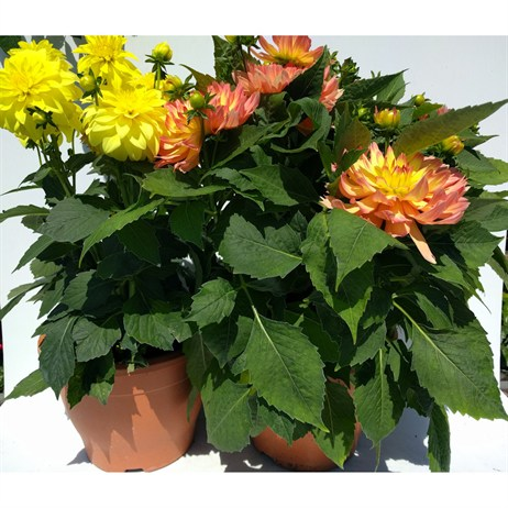 Dahlia Gallery Yellow and Peach/Yellow Mixed Collection 6.5lt Pot Bedding - Set of 2