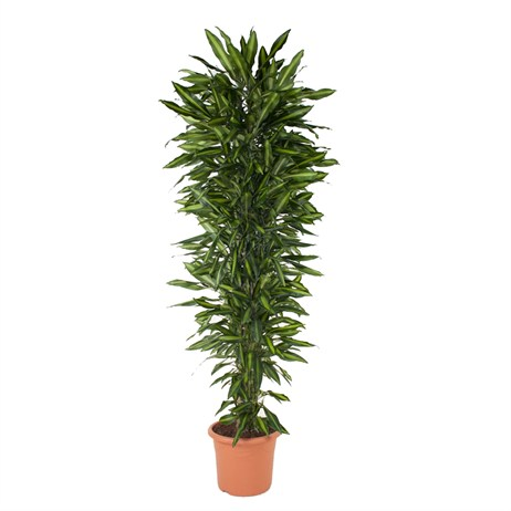 Dracaena Fragrans Cintho Branched In A 40cm x 220cm Pot