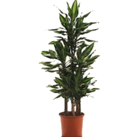 Dracaena Fragrans Cintho Carrousel In A 32cm x 150cm Pot