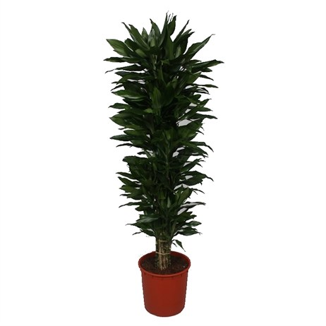 Dracaena Janet Lind Branched In A 34cm x 200cm Pot