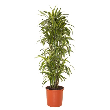 Dracaena Lemon Lime Branched In A 34cm x 170 Pot