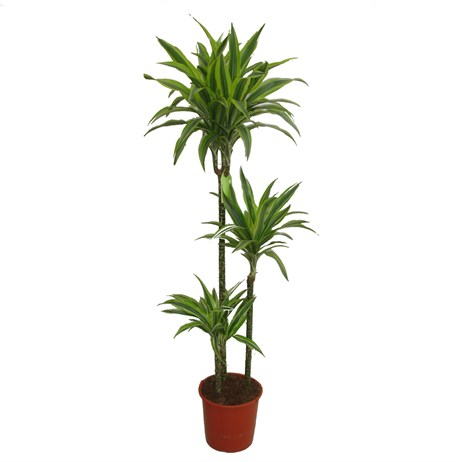 Dracaena Lemon Lime In A 24cm x 140cm Pot