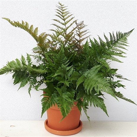 Dryopteris Enthrosora - 23cm