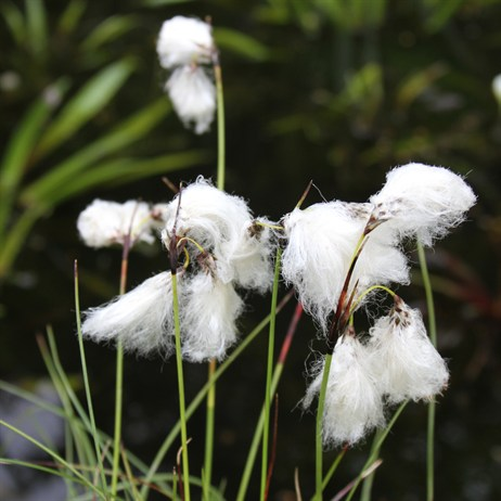 Eriophorum Angustifolium 'Cotton Grass' - 2L Pot