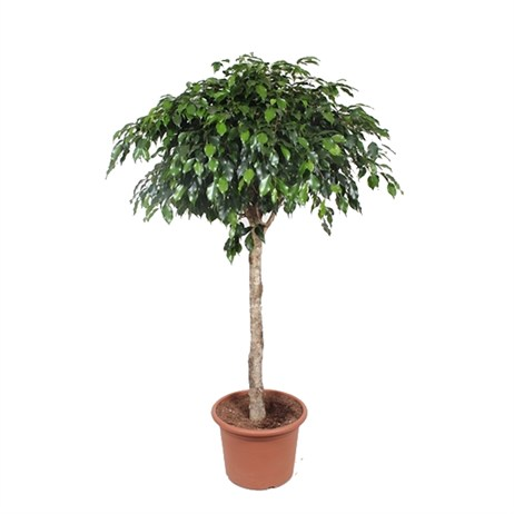 Ficus Benjamin Danielle On A Stem In A 40cm x 170cm Pot