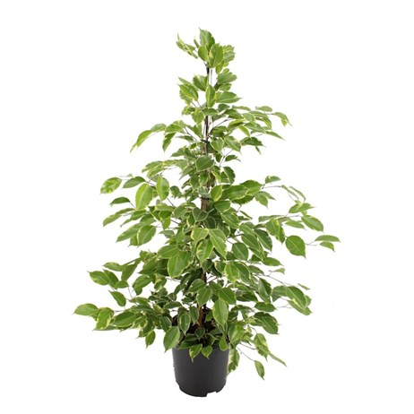 Ficus Benjamin Golden King Houseplant 21cm Pot