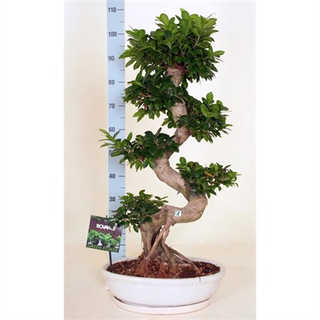 Ficus Microcarpa Ginseng S-Type Claybowl Oval White - 45cm x 100cm