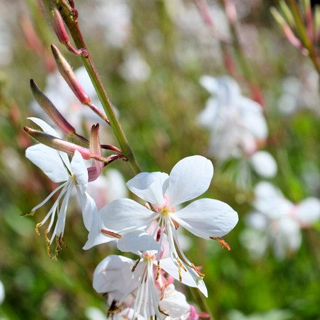 Gaura Geyser White Perennial in a 2L Pot