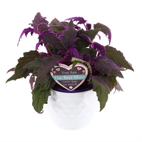 Gynura Purple Passion Houseplant in a White Textured 14cm Ceramic Pot with Mothers Day Pic