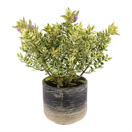 Hebe Variagated Addenda in Rustic Pot Shrub Set