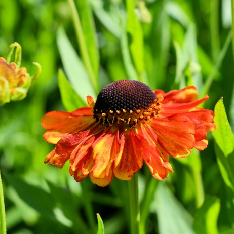 Helenium Waldtraut Perennial Plant in a 9cm Pot
