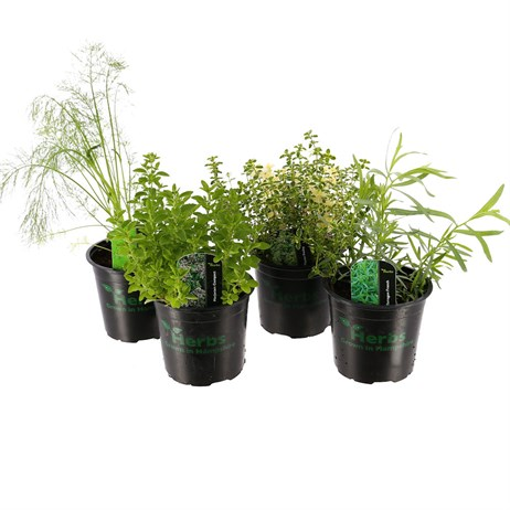 Herb Plant (Collection 3) 1L Pot - Set of 4