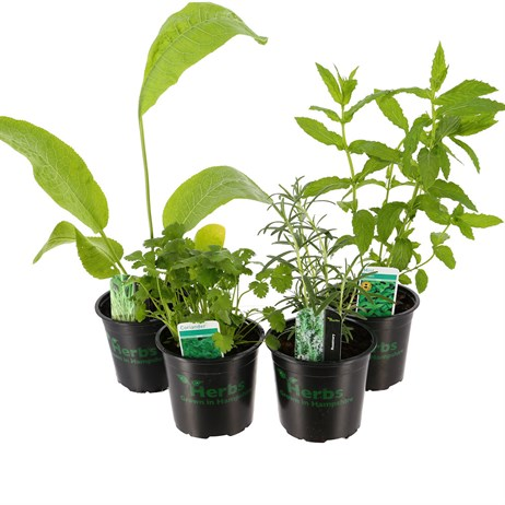 Herb Plant (Collection 4) 1L Pot - Set of 4