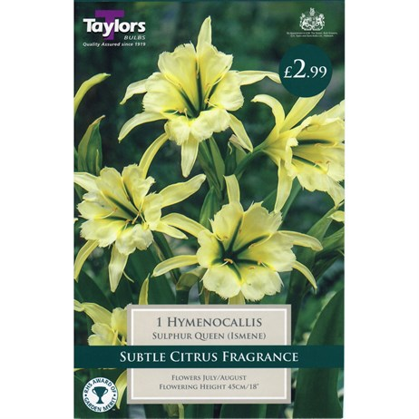 Taylors Bulbs Hymenocallis Sulphur Queen (Ismene) (Single Pack) (TS746)