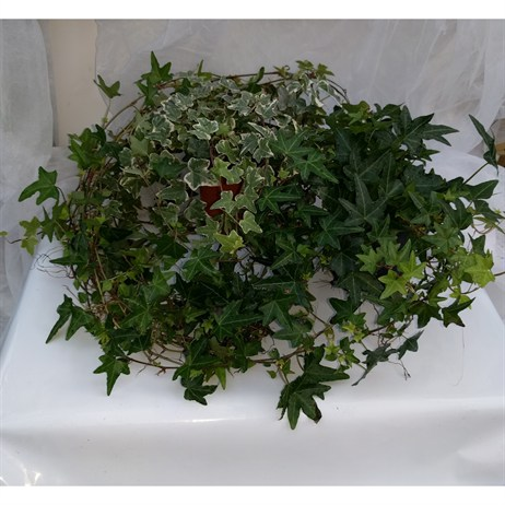 Ivy - Various Shades Of Green - 11cm Pot