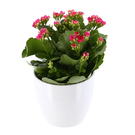 Kalanchoe Rosalina Houseplant Pink 12cm Pot in a White Ceramic Pot