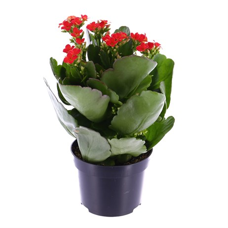 Kalanchoe Rosalina Houseplant Red 15cm Pot
