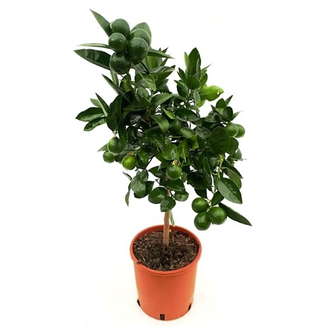 Key Lime Citrus Aurantifolia in 21cm x 75cm Pot