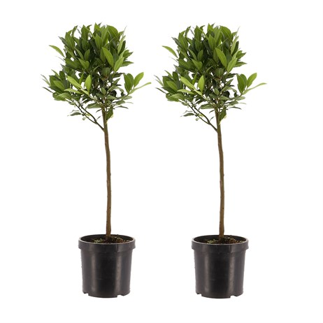 Laurus Nobilis Bay Trees Plant Set of 2