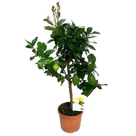 Lemon Citrus Limon in 21cm x 75cm Pot