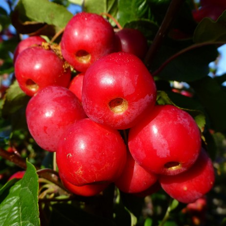 Malus 'Red Sentinal'