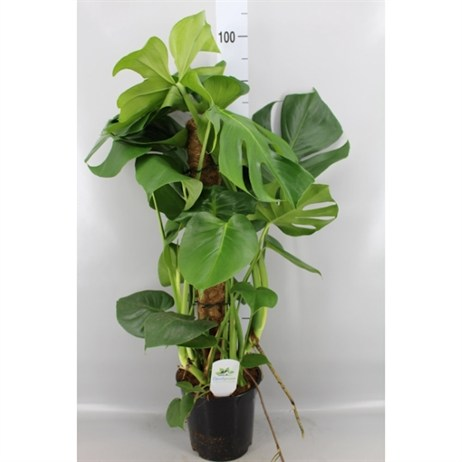 Monstera Deliciosa Moss Pole - 21cm x 100cm
