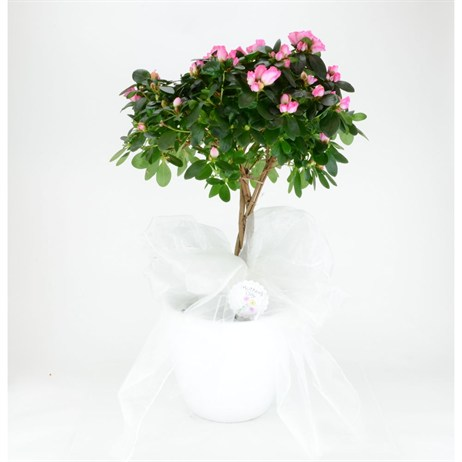 Azalea Standard In White Pot - 24cm Mother's Day Plant