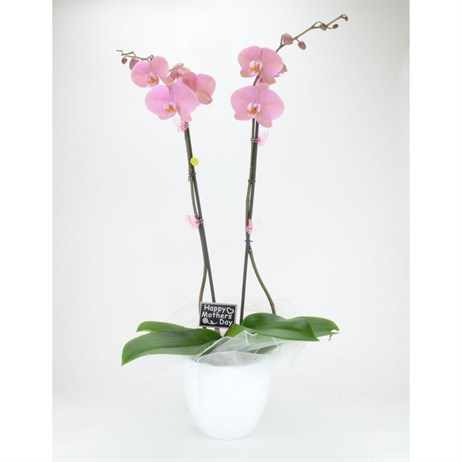 Large Dusky Pink Orchid Planter - 19cm Mother's Day Plant