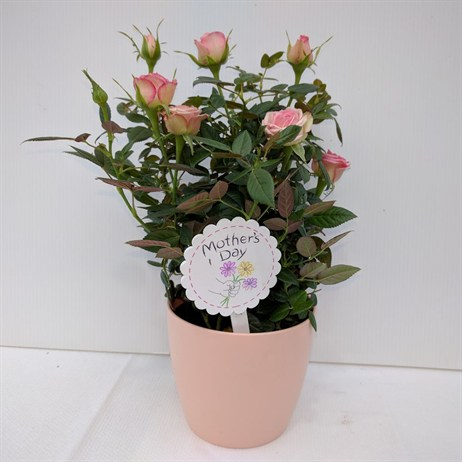 Light Pink Rose Small In Pot - 10.5cm Mother's Day Plant