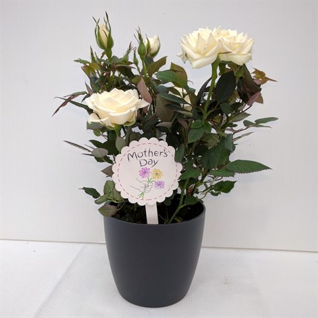 White Rose Small In Pot - 10.5cm Mother's Day Plant