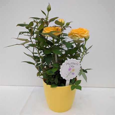 Yellow Rose Small In Pot - 10.5cm Mother's Day Plant