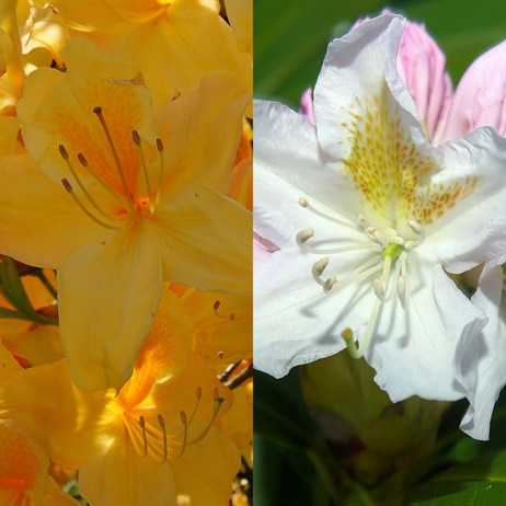 Nancy Evans & Golden Torch Rhododendrons (2 x 2L Pots) Offer