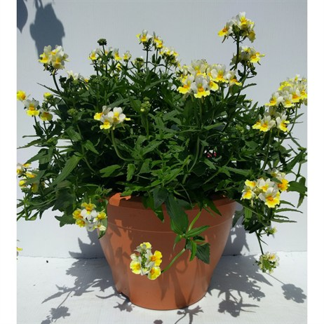 Nemesia 'Sunpeddle Yellow' Pot Bedding - 6.5lt