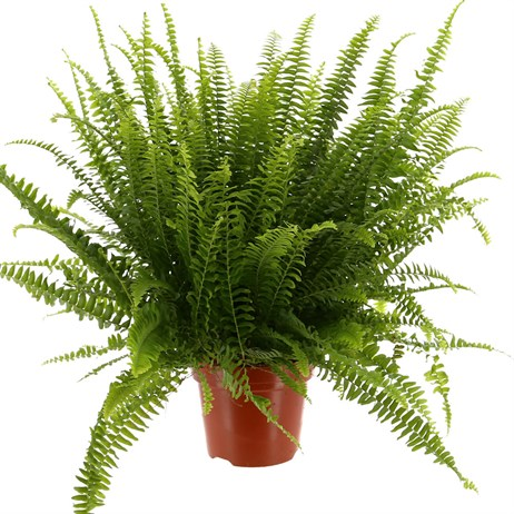 Nephrolepsis Exal Green Lady Houseplant 15cm Pot
