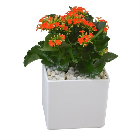 Orange Kalanchoe Set Into A White Square Ceramic Pot