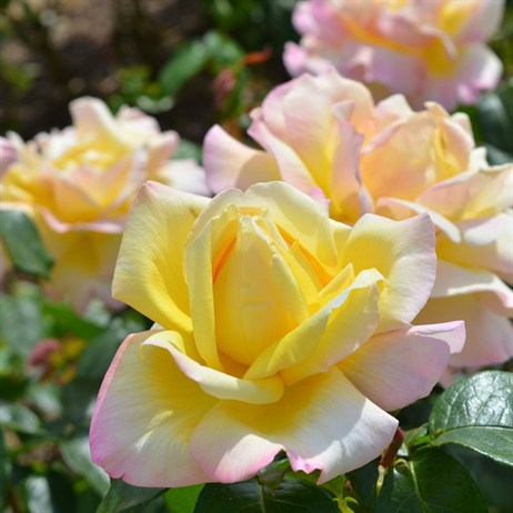Peace Bush Rose 3Lt (3PEAC)