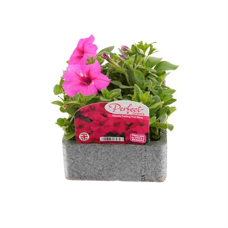 Petunia (Trailing) Wave Pink 6 Pack Boxed Bedding