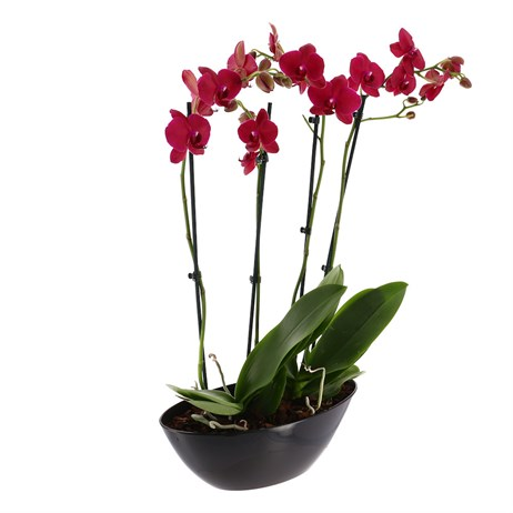 Orchid Dark Pink (Phalaenopsis) Double Stem Houseplant In Black Plastic Boat - 60 to 70cm