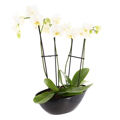 Orchid White (Phalaenopsis) Orchid Double Stem Houseplant In Black Plastic Boat - 60 to 70cm