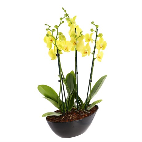 Orchid Yellow (Phalaenopsis) Houseplant In Black Plastic Boat - 60 to 70cm